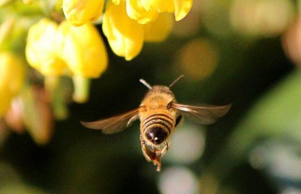 пчелы при импотенции
