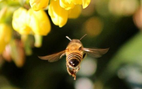 Пчелиный подмор для потенции