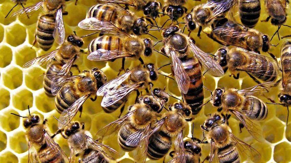 Лечение импотенции продуктами пчеловодства